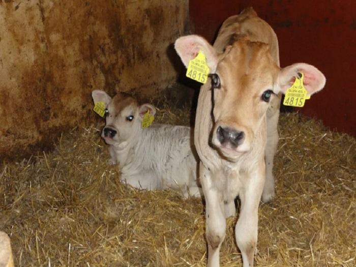 Симптомы зуборона у коровы