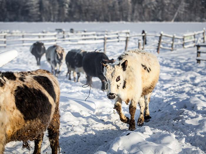 Несколько коров идут по снегу