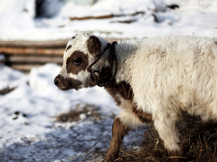 Теленок якутской коровы