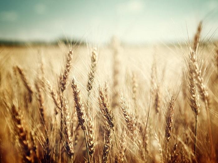 Пшеничная клетчатка что это такое