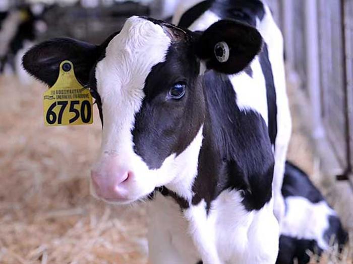 Корова холмогорская с чипом
