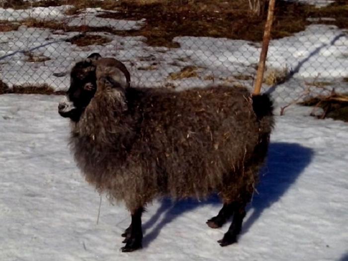 Ферганская коза