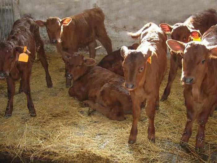 Телята красной коровы