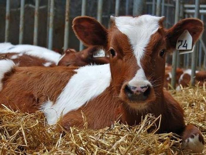 Корова на сене