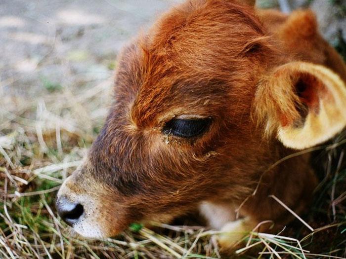 Приболевший теленок