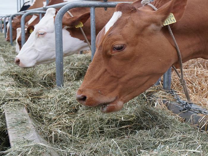 Для коров важно правильно питание и уход