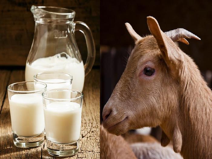 Польза и вред козьего молока для женщин