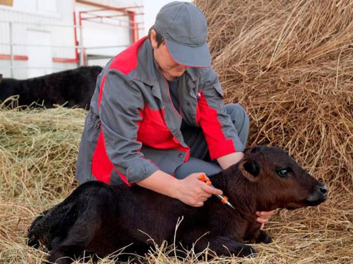 Введение прививки корове