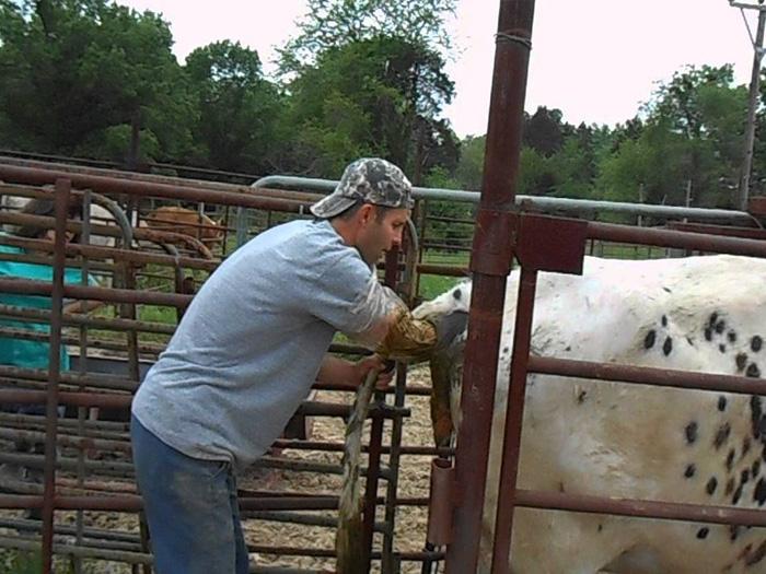 Ректальное исследование стельности коровы