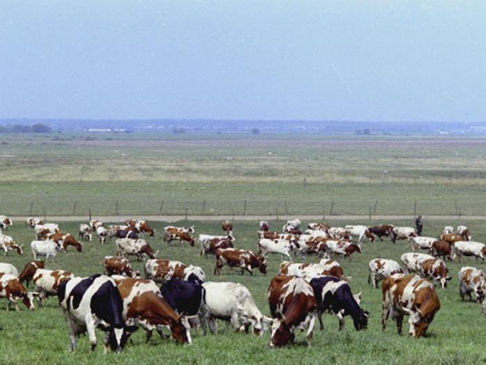 Коровы в сухостойный период