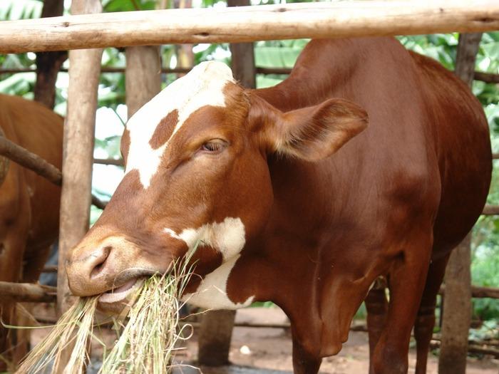 Плохое питание и недокорм одна из самых популярных причин бесплодия у коров
