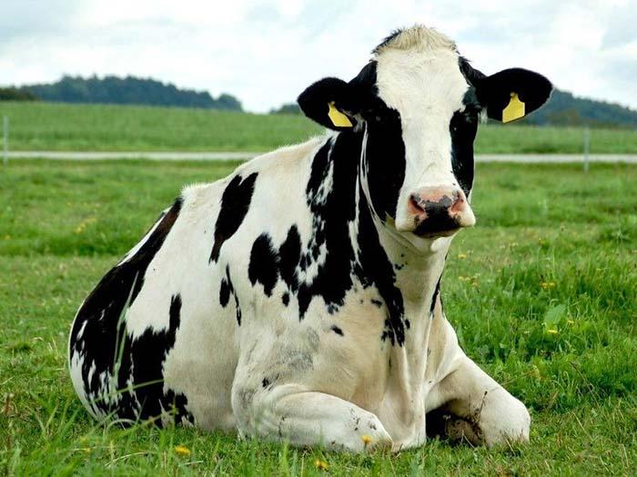 Корова на лугу
