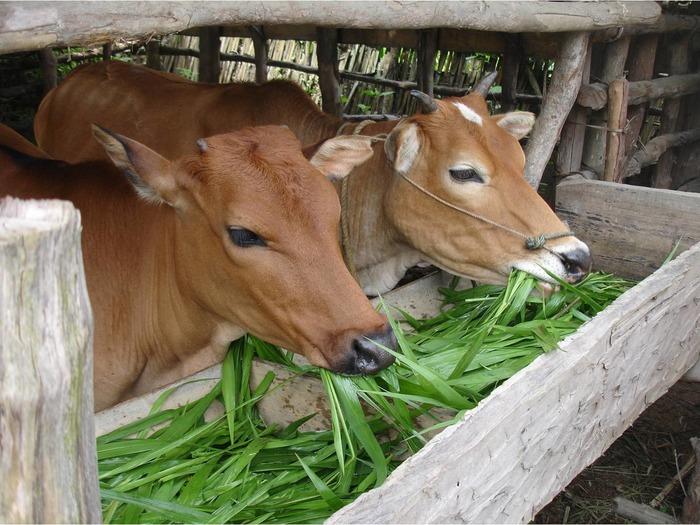 Витамин А коровы получают вместе с растительным кормом