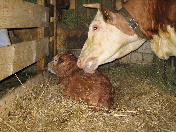 Корова с теленком в хлеву