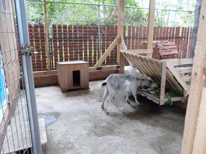Коза ест в козлятнике