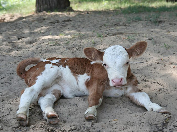 Почему корова кашляет что делать: простудные заболевания у коров