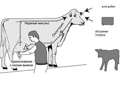 Процесс получения молока
