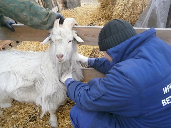 Осмотр козы