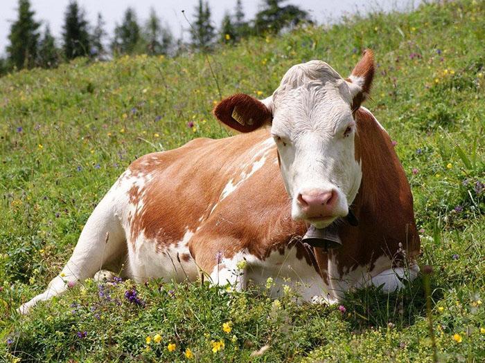 Корова на цветочной поляне