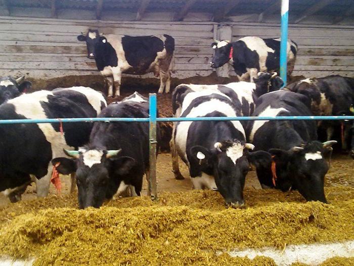 Коровы в стойле едят сено