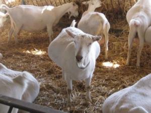 Расскажем все про правила разведения и ухода за козами в домашних условиях для начинающих. Основы козоводства для начинающих